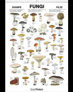 Plakat med svampe 70x100 cm
